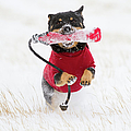 Dog Playing In Snow Poster by Paws on the Run Photography