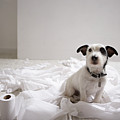 Dog Sitting On Bathroom Floor Amongst Shredded Lavatory Paper Print by Chris Amaral