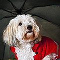 Dog under umbrella Print by Elena Elisseeva
