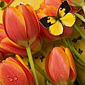 Dogface butterfly and tulips Print by Garry Gay