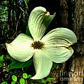 Dogwood Blossom I Print by Julie Dant