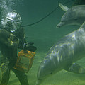 Dolphins Hover Near A Diver Holding An Poster by Luis Marden