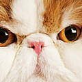 Domestic Persian Cat Against White Background. Poster by Martin Harvey