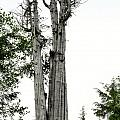 Duncan Memorial Big Cedar Tree - Olympic National Park WA Print by Christine Till