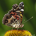 Echinacea butterfly meal Print by Darleen Stry