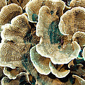 Elephant Skin Coral (pachyseris Sp.) Print by Matthew Oldfield