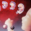 Embryo Development Print by Hans-ulrich Osterwalder