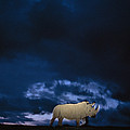 Endangered Northern White Rhinoceros Poster by Michael Nichols