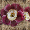 English Primrose  Print by Barbara  White
