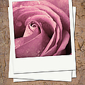 Faded rose photo Print by Jane Rix
