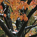 Fall Foliage Of Maple Tree After An Print by Tim Laman