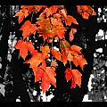 Fall Tree Poster by Karen M Scovill