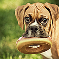 Fawn Boxer Puppy Poster by Jody Trappe Photography