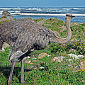 Feathers by the Sea Wild Female E African Ostrich Southern Race Cape of Good Hope South Africa Print by Jonathan Whichard
