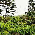 Fern and Norfolk II Print by Ron Dahlquist - Printscapes