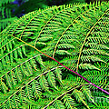 Fern Frond Poster by Kaye Menner
