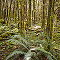 Ferns Sit On The Forest Floor Poster by Taylor S. Kennedy
