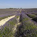 Field of lavender. Valensole. Provence by BERNARD JAUBERT