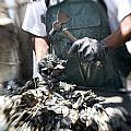 Fisherman Separating Clumps Of Oysters Print by Tyrone Turner