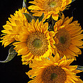 Five sunflowers Poster by Garry Gay