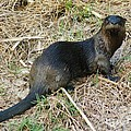 Florida River Otter Poster by Lynda Dawson-Youngclaus