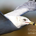 Flying Seagull Closeup Print by Wingsdomain Art and Photography