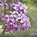 Fragrant Purple Lilac Print by Cheryl Davis