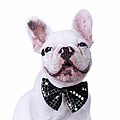 French Bulldog And Bow Tie Poster by MAIKA 777