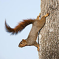 Frisky Little Squirrel with a Twirly Tail Print by Bonnie Barry