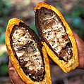 Fungal Infection Of Cacao Poster by Science Source