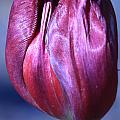Fushia Tulip Print by Donna Corless