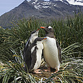 Gentoo Penguin and Young Chicks Poster by Suzi Eszterhas