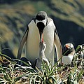 Gentoo Penguin Feeding Chick Poster by Charlotte Main