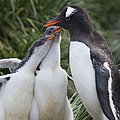 Gentoo Penguin Parent And Two Chicks Poster by Suzi Eszterhas