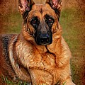 German Shepherd Dog Portrait  Poster by Angie Tirado
