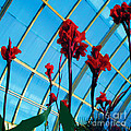 Giant Canna Lilly Poster by David Klaboe