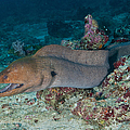 Giant Moray Eel Swimming Print by Mathieu Meur