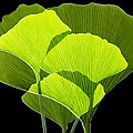 Ginkgo Leaves Poster by Pasieka
