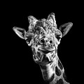 Giraffe In Black And White Print by Malcolm MacGregor
