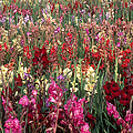 Gladioli Garden in Early Fall Print by Yva Momatiuk and John Eastcott and Photo Researchers