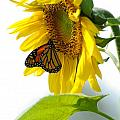 Glowing Monarch on Sunflower Poster by Edward Sobuta