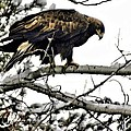 Golden Eagle Watches Print by Don Mann