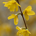Golden Forsythia Poster by Kathy Clark