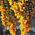 Golden Grapes Print by Elaine Plesser