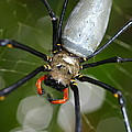 Golden Orb Weaver Print by Andrea Lim