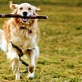 Golden Retreiver With Stick Print by Stephen O'Byrne