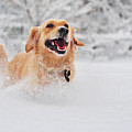 Golden Retriever Dog Running On Fresh Snow Print by Maya Karkalicheva