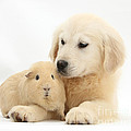 Golden Retriever Pup And Yellow Guinea Poster by Mark Taylor