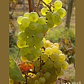 Grape Spiral Print by Patricia Overmoyer