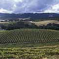 Grape Vines On Opolo Vineyards Poster by Rich Reid